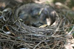 New American Robin Peeking from Nest. An new American Robin chick peeking from the edge of its nest in Littlefork, MN Royalty Free Stock Image