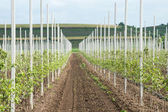 New apple trees Stock Photo