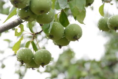 New apples Royalty Free Stock Images