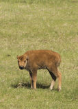 New Arrival. Newborn buffalo calf in the spring Royalty Free Stock Image