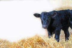 New baby calf Stock Photo