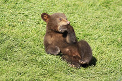 New baby brown bear cub. In spring Stock Photo