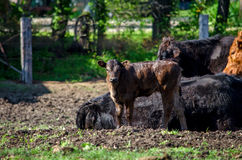 New  baby calf in paddock Stock Photography