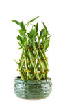 New Bamboo Plant in ceramic pot on white background Royalty Free Stock Photos