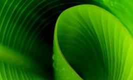 New Banana leaf Royalty Free Stock Photos