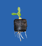 New bean plant seedling Stock Photo