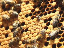 New bee born from comb. Honey comb with working bees and one brand new bee Royalty Free Stock Photography