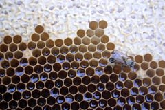 New bee and honeycomb. Freshly hatched bee on honeycomb. zoom in on bee to see delicate hairs visible on young bee (this bee literally just crawled out of one of Royalty Free Stock Images