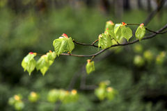 New beech leaf in morning forest, spring Royalty Free Stock Photography