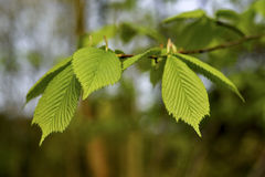 New beech leaf in morning forest, spring Stock Photos