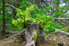 New Begginings of life. Young tree shoots growing from a felled Beech tree royalty free stock photography