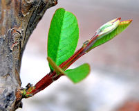 The new begining. New leaves of the guava tree budding out Stock Photography