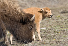 New Beginnings. Bison cow grazes beside her new-born bison calf, known as a red dog, in Yellowstone park royalty free stock photo