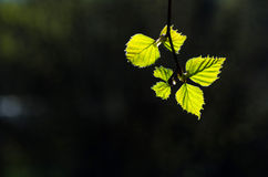 New birch leaves in back light Royalty Free Stock Images