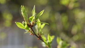 New bird-cherry leaves in morning spring sunlight Stock Images