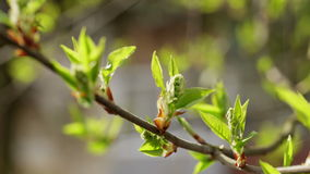 New bird-cherry leaves in morning spring sunlight Stock Photos