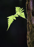 New Birth. Shoot of fern leaves. This new birth may denotes potential, new hopes, new beginning or a succession Stock Photos