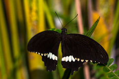 New black color. Black tropical butterfly in green leafs. Macro photography of nature Stock Images