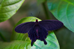 New black. Portrait of black tropical butterfly. Macro photography of wildlife Stock Images
