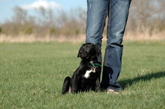 New black puppy Royalty Free Stock Images
