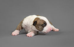New bord bull terrier dog. Who is just one week old Royalty Free Stock Photo