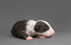 New bord bull terrier dog. Who is just one week old Royalty Free Stock Photos