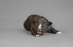 New bord bull terrier dog. Who is just one week old Royalty Free Stock Images