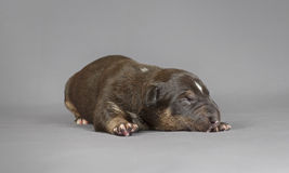 New bord bull terrier dog. Who is just one week old Stock Photo