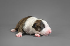New bord bull terrier dog. Who is just one week old Royalty Free Stock Image