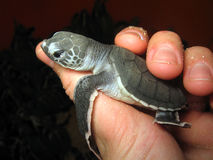 New Born. Baby Turtle, Sangalaki Sea Turtle Monitoring  Station, Indonesia Stock Photos