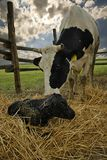 New born. A little black bull new born with mother cow royalty free stock photos