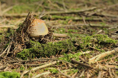 New born amanita, ardennes Royalty Free Stock Photo