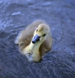 New Born Baby Canadian Goslings Royalty Free Stock Image