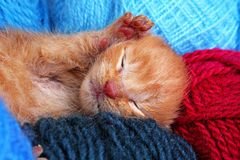 New born baby cat sleeping. Cute beautiful little few days old orange cream color kitten. Newborn abandoned rescued. Orange cat kitten. Cute royalty free stock photos