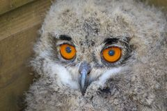Baby captive born european eagle owl. A new born baby european eagle owl bowl in captivity in yorkshire uk royalty free stock photos