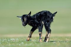 New born baby goat on field in spring Stock Photography