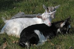New born baby goats. Resting in the grass Stock Photos