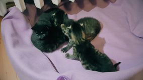 New born baby kittens moving together in a cat basket. Top view of four new born kittens moving together in a cat basket near central heating stock video footage