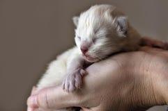 New born ragdoll kitten stock images