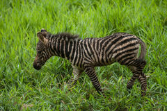 New born baby zebra Stock Images
