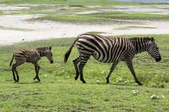 New born baby zebra with its mother Stock Photography