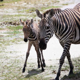 New born baby zebra with its mother Stock Images