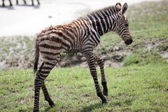 New born baby zebra with its mother Royalty Free Stock Photo