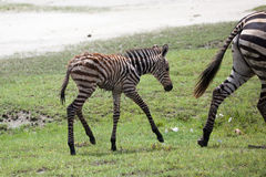 New born baby zebra with its mother Royalty Free Stock Photos
