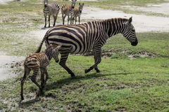 New born baby zebra learning how to walk Stock Photography