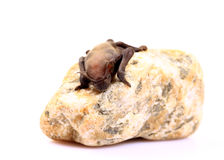 New born bat Stock Photography