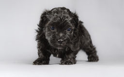 New born Bichon Havenese puppy Royalty Free Stock Images