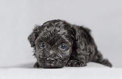 New born Bichon Havenese puppy Stock Photo