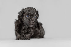 New born Bichon Havenese puppy. Just a couple of weeks old Royalty Free Stock Photos