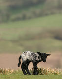 New Born Black Lamb Stock Photo
